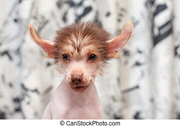 Little funny Chinese Crested pappy dog portrait