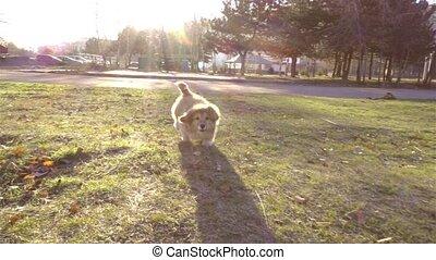 little funny corgi fluffy puppy walking outdoors