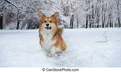 little funny corgi fluffy puppy walking outdoors at the...