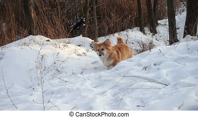little funny corgi fluffy puppy walking outdoors at the winter day