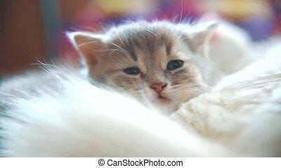 little funny white cute cute kitten sleeping is sitting bed ...