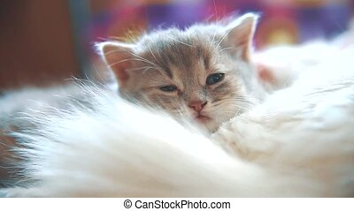 little funny white cute cute kitten sleeping is sitting bed...
