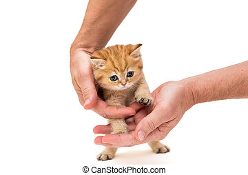 Little ginger kitten in hands