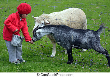 Little girl feed animals - Little girl feeds sheep and a ...