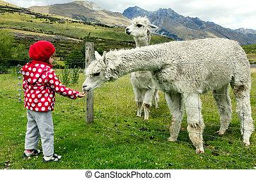 Little girl feed animals - Little girl feeds llama in the...