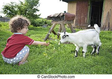 Little girl feeding goat grass .