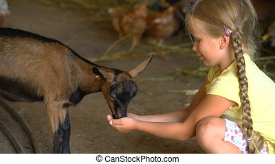 little girl feeds a goat on a farm with her hands