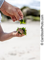 Little girl holding seaweed at the beach