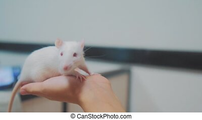 little girl is played on a bed with a white homemade handmade rat mouse. funny video rat crawling over a little girl. girl and white mouse pet concept lifestyle