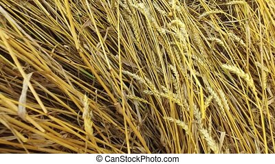 Little girl sits on a mop of straw in a wheat field. Wheat turned yellow. Soon it will begin harvesting.