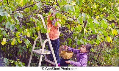 Little girl standing on a ladder and collecting plums....
