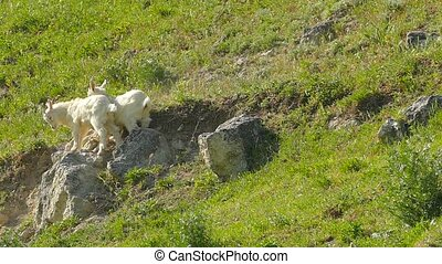 little goats are pushing each other. Slow motion. - small...