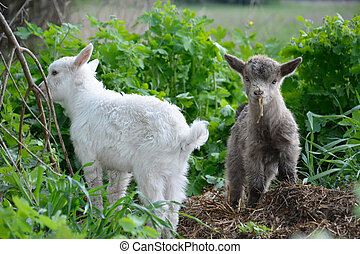 Small gray and white goats grazing.