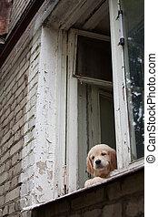 Little Golden Retriever puppy playing peeps out of an  window