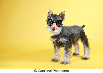 Little Goofy Minuature Schnauzer Puppy Dog - Cute Nerdy...