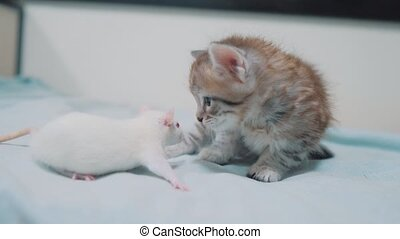 little gray kitten and white rat sniffing each other. funny...