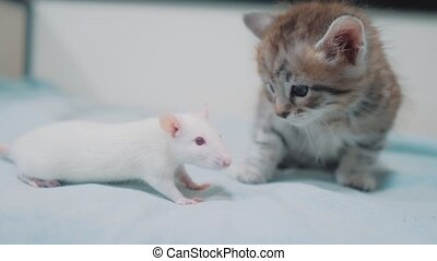 little gray kitten cat and white rat sniffing each other....