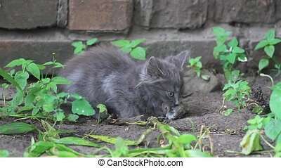 little gray kitten eating caught mouse, pets