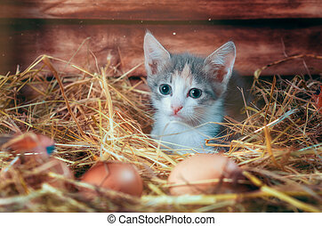 little gray kitten in the morning in the chicken coop on the farm
