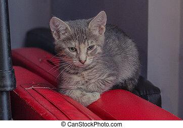 little gray kitten lies on red