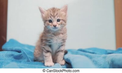 little gray Scottish striped kitten portrait. little cute...