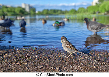 Little gray sparrow on the background of the lake and other bird