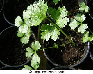 little green celery seedlings