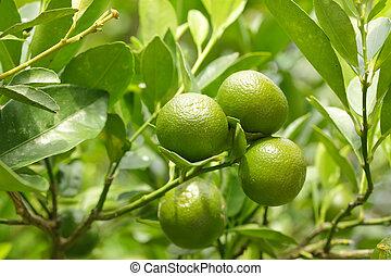 little green oranges