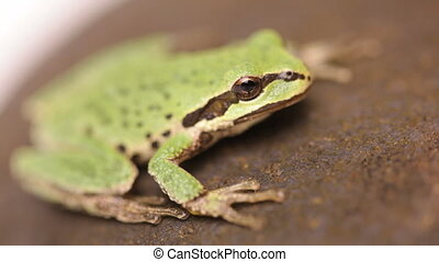 Little green tree frog - Pacific Tree Frog (Pseudacris...