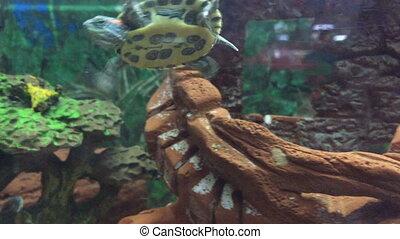 Little green turtle swimming in the aquarium.