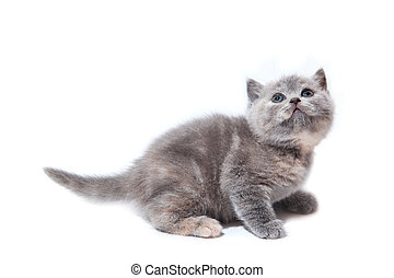 Little grey british kitten isolated on white background