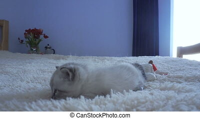 little grey kitten lay on a blanket
