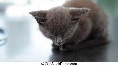 Little grey kitten - Adorable little grey kitten sitting on...