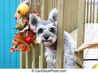 Little grey terrier with red collar