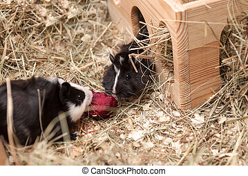 Little guinea pigs eating beetroot.