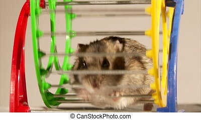 little hamster - small domestic hamster sitting in the wheel