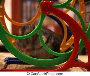 little hamster - small domestic hamster running in the wheel