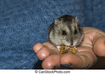 Little hamster in human hands. The concept of animal protection. Macro photo focusing on the eyes of a hamster.
