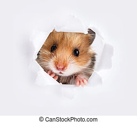 Little hamster looking up in paper