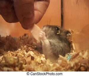 little hamster - small domestic grey hamster eat the ham at...