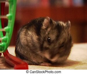 little hamster - a small domestic hamster washed someself
