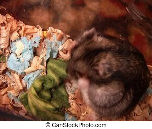 little hamster - small domestic grey hamster take the wheat...