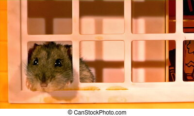 little hamster - small domestic hamster try go out from toy...