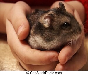 little hamster - small domestic hamster in child hands