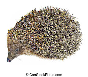 hedgehog animal isolated on white
