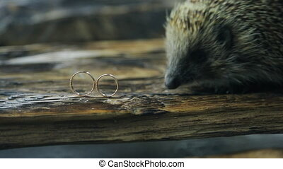 Little hedgehog explores two gold wedding rings on tree.