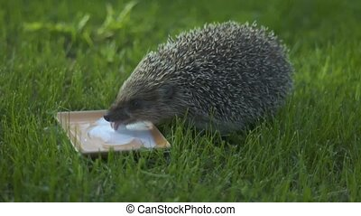 Little hedgehog in green grass. Close up view. Wildlife nature concept. Animal drinks milk.