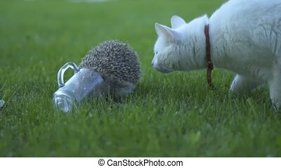 Little hedgehog in green grass. Close up view. Wildlife nature concept. Animal drinks milk. White cat sniffing.