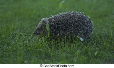 Little hedgehog in green grass. Close up view. Wildlife nature concept.
