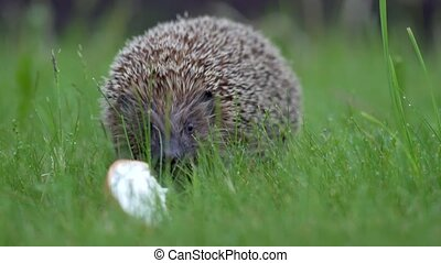Little hedgehog in green grass eating. Close up view. Wildlife nature concept.